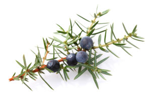 Juniper-Berry-Essential-Oil